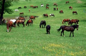 horsesbypond